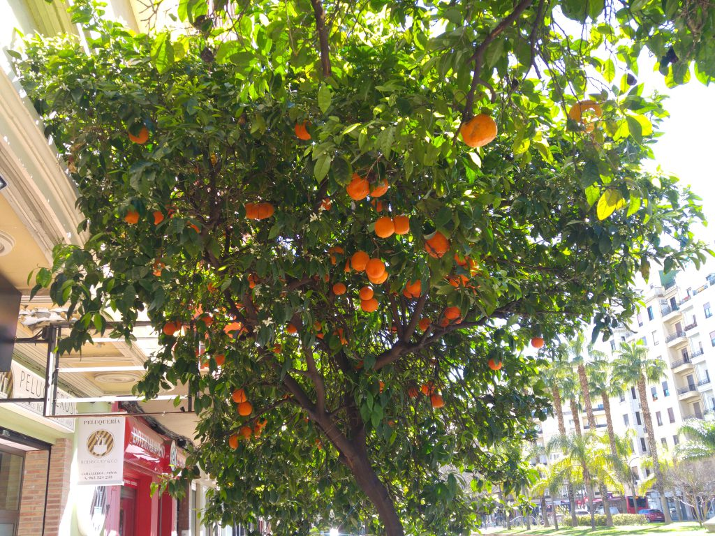 Beautiful Valencia orange trees line the main streets.